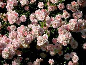 5:35 p.m.: Pink rosebush.