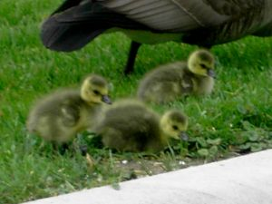 Boaz and Ruth's goslings, just a few hours old
