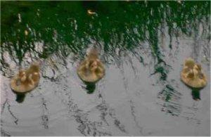 Duck babies! Duck babies!