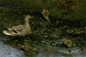 More duck babies!