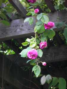 Fragrant rose of the heavenly court